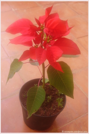 Gift from Mayank - Poinsettia, Turns lush red in December