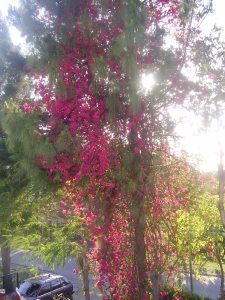 Sky scraping bougainvillea outside our house